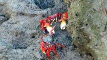 Caranguejo-Aratu Vermelho- Crab