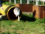 husky huskies chiens élevage AMAROK'S Quimper 29 France .wmv
