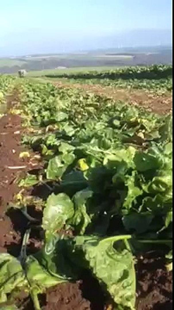 Fodder beet harvest 2013/14
