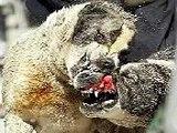 Pelea de perros, Pitbull vs rotwailer