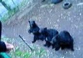 Ours Noir Très Rigolo - Parc Safari Région de Québec