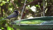 Nature Trees and Birds - Blue tit,Great tit,Robins & Many Other Birds Enjoying Bathing In My Garden