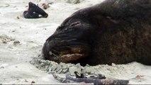 Nouvelle Zélande 2008: Péninsule d'Otago (Les lion de mer