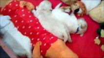 "Golden Retriever Puppies ANIMALS  TRIUMPH - litter ""D"" three weeks"