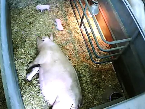 British Lop piglet being born