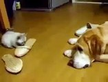 Cutest Cat Attack Ever Funny Animals Cats and Dogs