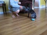 German Shorthaired Pointer - Dieter obeying a few commands