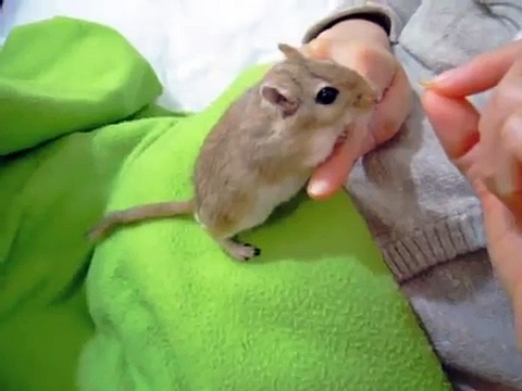 Gerbil wags tail like dog for treats