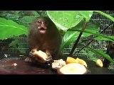 Pocket monkey, pygmy marmoset, leoncillo - PRINCESS!  From AmaZOOnico - Selva Viva, Ecuador.