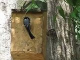 Grey Tit Nesting in Sparrow and Tit Nestbox