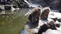 Snow Monkeys Drinking Hot Spring Water, Jigokudani, Japan.  地獄谷野猿公苑 春