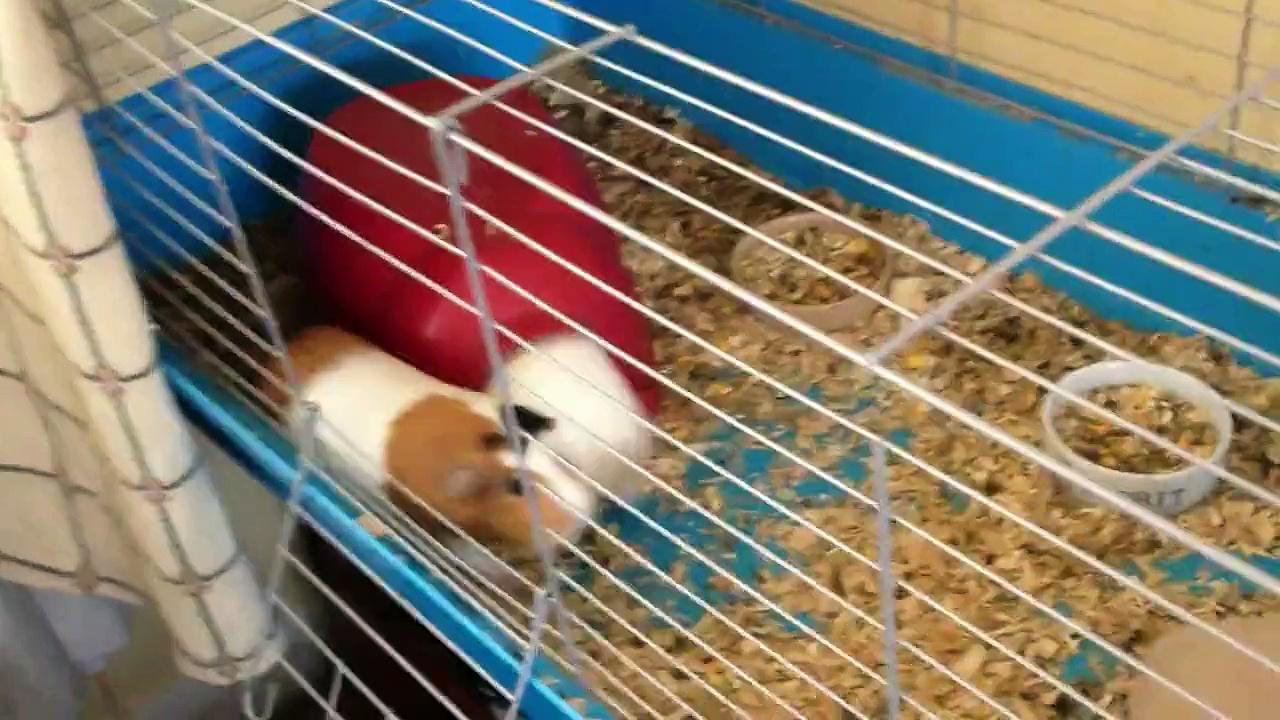 Guinea pigs squeak