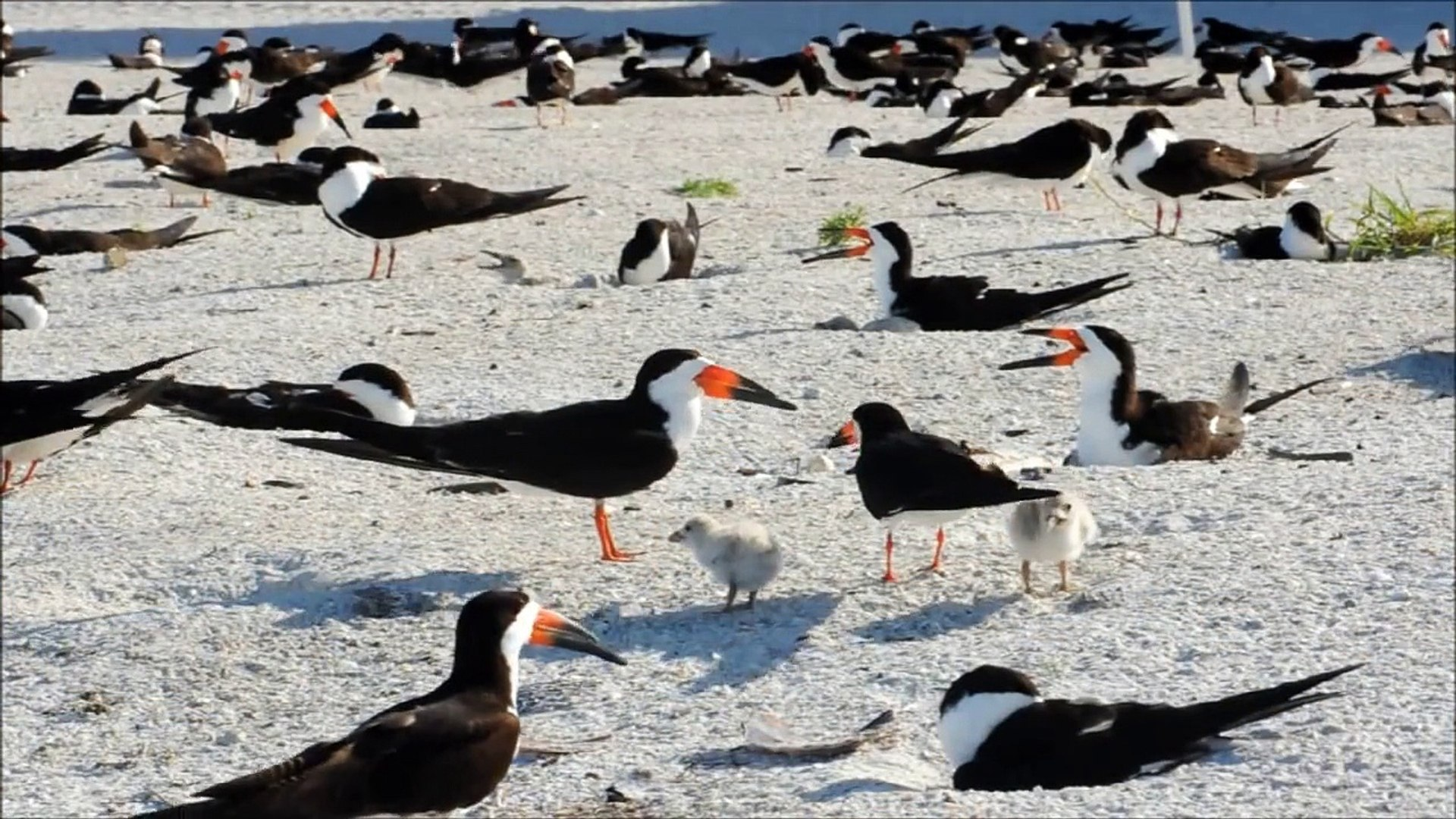 Black Skimmer Colony on the Gulf in Florida by Karen King