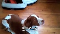 Brittany gets beer out of fridge and other dog tricks (11 month-old Brittany, Kona)