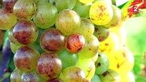 Vendanges : les premières récoltes ont commencé dans le Sud