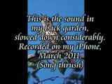 Song Thrush Slowed Down.