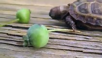 Elma yemeye çalışan kaplumbağa