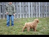 Australian Labradoodle Puppy 9 Weeks Old