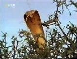 Crazy Badass Honey Badger (Edited - original narration by Randall)