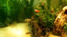 Pygmy, dwarf Freshwater Puffer in a 40 gallon community aquarium