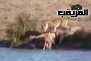 اسد يهجم على عجل جاموس - مجموعة اسود تهجم على جاموس