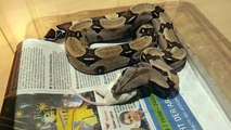 Suriname Redtail Boa constrictor eating mouse/ Rotschwanzboa frisst Maus