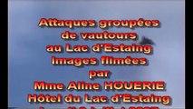 Les vautours attaquent dans les Pyrénées