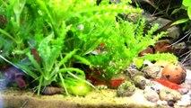 Aquarium eau douce crevettes red cherry . Red cherry shrimp
