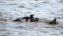 Surf Scoters (Macreuse à front blanc) courting in Shediac Bay, New Brunswick - 30 April 2014