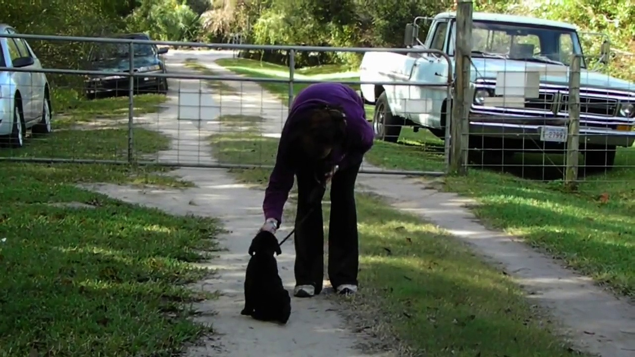 "Black Labrador Puppy training  ""Bo"" SOLD"