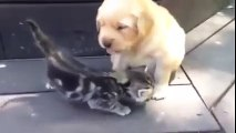 Golden Retriever Puppy Playing With Kitten Too Cute - Cutenest Animals videos