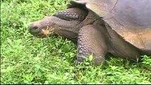 ,Schildkröten auf Galapagos.mpg