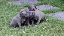 Filhotes de Italian Greyhound azuis - Direnna's Kennel - Italian Greyhound & Bulldog Francês