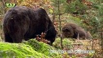 brown bear - bruine beer - ursus arctos #02