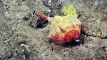 Des espèces inconnues jamais filmées dans les fonds marins