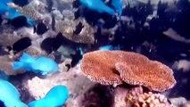 HD Schwarm scharzer und blauer Fische im Korallenriff im Süd-Male-Atoll Malediven 2013 04 05