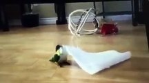 Çılgın papağan lorke oynayarak halay çekiyor