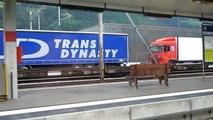 HD - Trenes suizos / Swiss trains - Transportando camiones / Trucks by train - Suiza / Switzerland