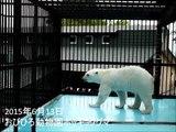 湯たんぽが取れなくなっちゃった☆おびひろ動物園ホッキョクグマ