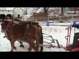 Team of mules,  really broke Mules for sale