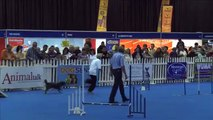 Dog Sport, agility: Biji and Shelly in dog agility contest, South Africa