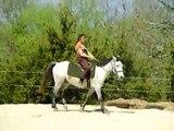 dressage d'un jeune cheval arabo - merens