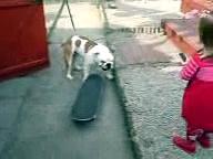 Skateboarding British Bulldog (dog)