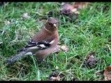 Les oiseaux de nos campagnes