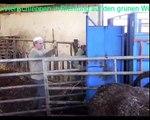 die Kühe werden ans Kraut von der Salers Zucht VINCENT PESCHER gelegt
