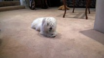 Cute Maltese Puppy Dog Playing with a Bottle Cap