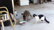Un raton laveur vole des croquettes de chats et s'enfuit