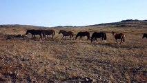 MONGOLIAN HORSES | Przewalski's Horses | Mongolian Адуу, aduu | Jürgen Schreiter Trekking Tours