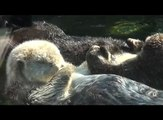 Sea Otters holding hands - Vancouver 2011