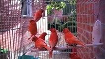 Mascotas Pets, Canarios lipocromo rojos intensos, nevados y marfil.